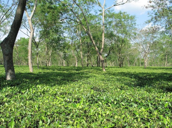 India tea plantations in Assam