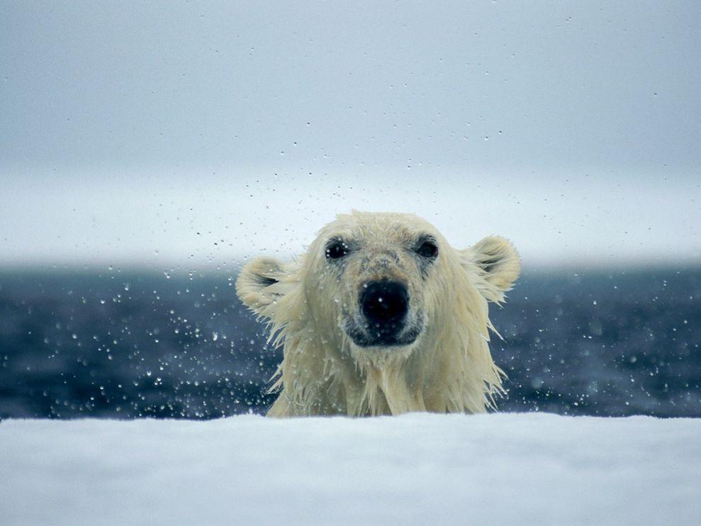 climate change polar bears